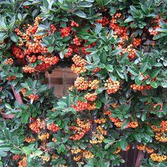 Scarlet Firethorn plant, hedg, shrub