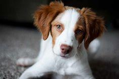 Brittany puppy <3