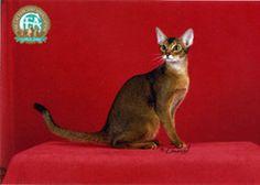 Cat flash cards