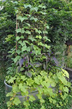 bean, eggplant, basil, and cukes grown in tub