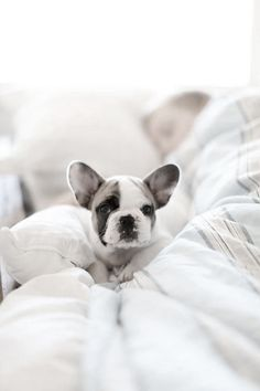 I want one.. Perfect gf for Romeo :) French Bulldog Puppy.