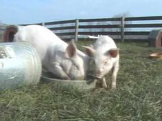 VIDEO: rescued piglets at play!