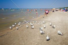 birds at wasaga beach with people in the background. - Birds at beach with people in the background.