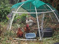 Mini Chook Dome