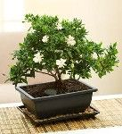 A gardenia bonsai adds some zen to your table.