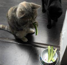 Zucchini cat...