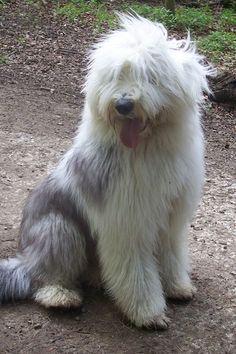Love an Old English Sheepdog