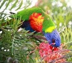 Rainbow Lorikeet. (Australia)
