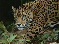 A Close View of a Captive Jaguar, Panthera Onca Photographic Print