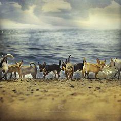 #dogs #animal #chihuahua