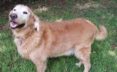 This is Beau approx 8-10 yrs. He was an owner surrender. He is neutered, current on vaccinations, good with dogs and older, calm kids. Beau takes meds for seizures. he is 20 lbs over-weight.  Beau needs a forever home that will help him lose lbs and and spend time with him. Gold Ribbon Rescue, TX. - http://www.grr-tx.com/dogs/beau-1