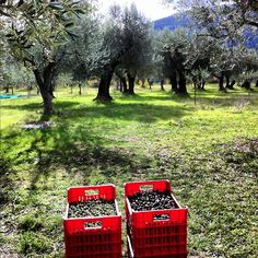 An olive tree grove in Abruzzo