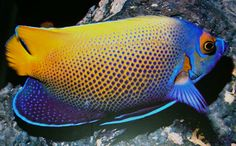 Very rare crossbreed of the blueface angelfish with the majestic angelfish
