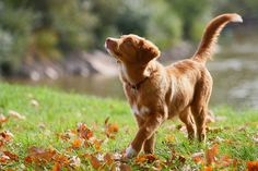 Toller puppy in the leaves autumn by kadjuuha on flickr nova scotia