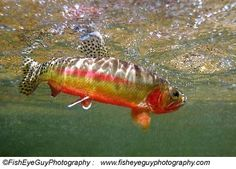 California golden trout http://www.dfg.ca.gov/fish/images/FishOnly/CaGoldTrt2.jpg fli fish, california golden, golden trout, salmon, california nativ, fish dream, thing