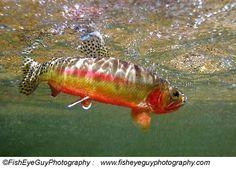 California golden trout http://www.dfg.ca.gov/fish/images/FishOnly/CaGoldTrt2.jpg