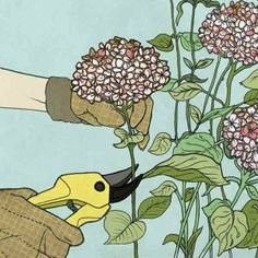 How to prune old wood hydrangeas for maximum blooms. | Illustration: Jillian Ditner | thisoldhouse.com wood hydrangea, flower