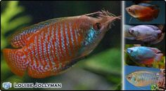 There are a number of different colour forms of the Dwarf Gourami available varying between stages of blue and red colour. forms has made the Dwarf. The Dwarf Gourami is a peaceful, timid fish, which should be kept with other peaceful fish in a well-planted aquarium with plenty of hiding spots. If several males are kept together, bullying does not occur so it is best to keep one male and one or more females, or a larger mixed group including several males. A mature aquarium is essential.