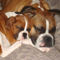 boxer puppi, anim, critter, stuff, doggi, boxer dog, boxers, ador, boxer babi
