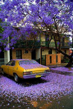 Sydney, Newtown  Jacaranda Rain