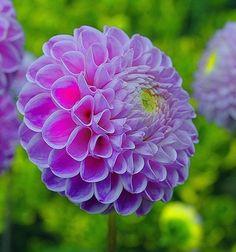 flowersgardenlove:  Pom Pom Flowers Garden Love pom poms, dahlias, colors, gardens, gardening, daughters, pom dahlia, beauty, flowers garden
