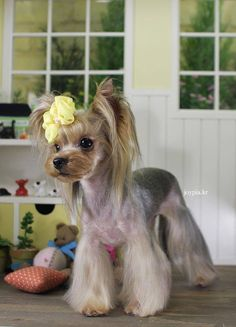 Adorable Yorkie hair cut.