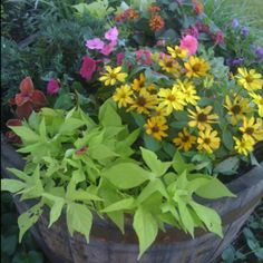 Prettying up a whiskey barrel  ....  sweet potato vine, red coleus, pink impatiens, purple million bells, red/yellow lantana, yellow daisies, and blue juniper
