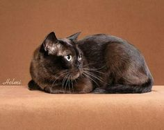 Burmese cat anim, burmes cat, felin, favorit thing, burmes beauti, amin, cat bodi, burmese cats, black cat