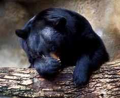 NOVA | Bear Essentials of Hibernation - to go along with the hibernating bear craft