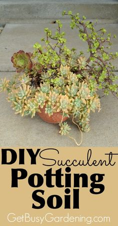 Succulents and cactus plants need fast draining soil in order to survive and grow their best. It's easy to make your own succulent potting soil, and cheaper than buying the commercial stuff. Here's my recipe and detailed instructions for DIY succulent potting soil!   GetBusyGardening.com