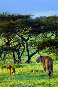 baby lion and its mom in Serengeti morning light babi lion