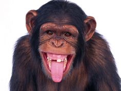 Chimp sticking out its tongue