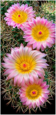 ✯ Pretty Pink Cactus Flowers