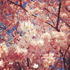 In Japan, it is now the season of cherry blossoms. I just love this flower.