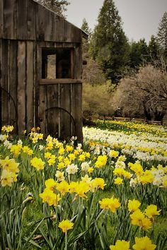 Daffodil fields. Beautiful contrast against a weathered shed