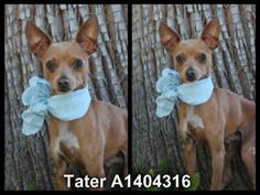**EMERGENCY ~ MEDICAL ALERT** SWEET 11 MONTHS OLD MALE, RED DUN CHIHUAHUA - SMOOTH COATED!! TATER - ID#A1404316 — HARBOR SHELTER - SAN PEDRO, CA (L.A. AREA)  The shelter thinks I am about 11 months old. I weigh approximately 5 pounds. I have been at the shelter since Jun 27, 2013.   http://www.petharbor.com/pet.asp?uaid=LACT1.A1404316  https://www.facebook.com/photo.php?fbid=340108999456340=a.283970671736840.1073741826.162131600587415=1=1