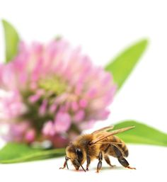 natural remedies for treating bee stings and bug bites