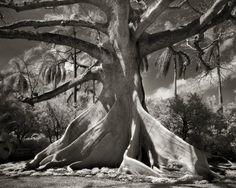 Kapok tree - photography by Beth Moon