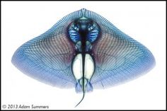 A cleared and stained smooth butterfly ray, Gymnura micrura, by Adam Summers.