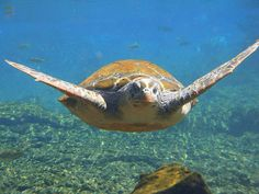 Swimming with the Turtles Savaii Samoa - by JackyDZ, via Flickr