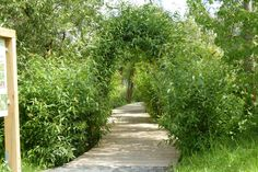 walkway through willow arches