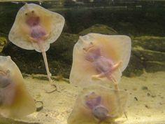 Baby sting rays!