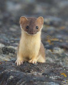 "☀""I'm a Weasel!"" by Doug Dance.."