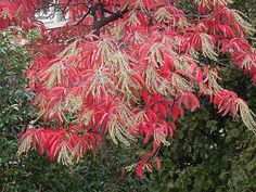 Fall foliage of Oxydendrum arboreum (sourwood) in the Ripley Garden. Photo by DC Tropics.