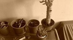varios cactus