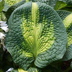 Where to find unusual hosta varieties