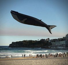 The Blue Whale is the largest animal on earth. They have been known to grow as long as 100 feet and weigh as much as 150 tons. The Blue Whale is, in a word, awesome. This incredible, one-of-a-kind Blue Whale Kite was created byPeter Lynn Kitesandmeasure30 meters long. So it's nearly as long as a real blue whale, but, thankfully, it's nowhere near as heavy, which helps with the whole flying thing.