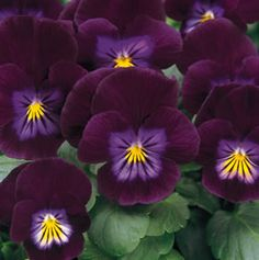 Purple Rain pansy.