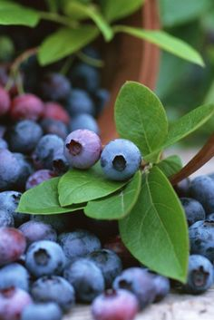 .Blueberries