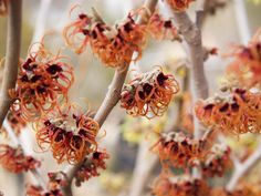 Colorful Winter: Witchhazel yellow flowers, winter colors, plants, 3si garden, gardens, orange flowers, hgtv, witchhazel, winter interest garden